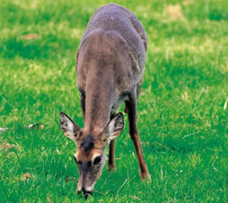 A deer grazing
