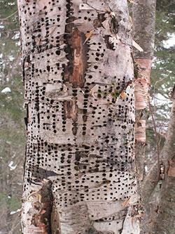 2304 Preventing Woodpecker Damage To Trees Planttalk