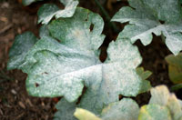 Powdery Mildew