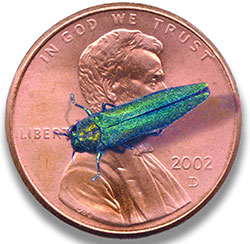 Emerald Ash Borer on penny for size comparison